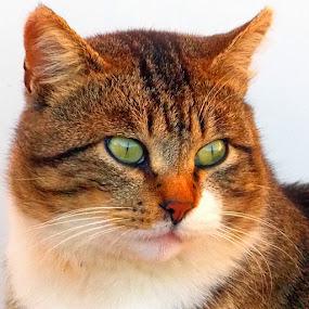 by Nevenka Zajc Medica - Animals - Cats Portraits