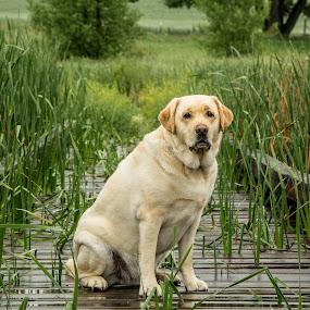 by RaeLynn Petrovich - Animals - Dogs Portraits ( calm, grass )