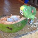 Yellow crowned Amazon