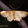 Red-Bordered Wave Moth