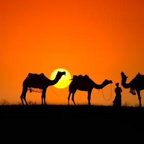 Sunset at Pushkar... by Nimit Nigam - Animals Other Mammals ( d3000, camel, pushkar, rajasthan, nimit, india, nikon, fair,  )