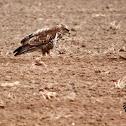 Common Buzzard - Káně lesní