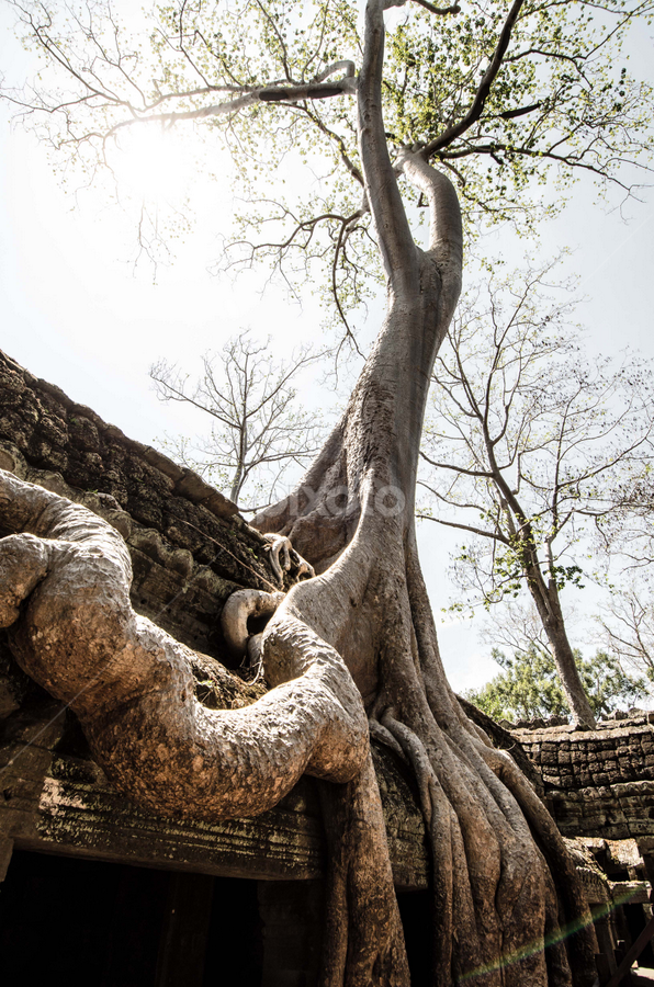 Tree at Ta Prohm by Vireak Chandara - Nature Up Close Trees & Bushes
