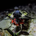 Cream-spot tiger moth
