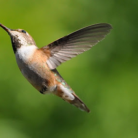 Up, Up And Away by Ed Hanson - Animals Birds ( bird, nature, wings, brown, close-up )