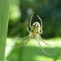 Tetragnath spider