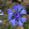 Cyani flower