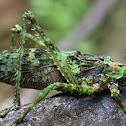 Moss Katydid