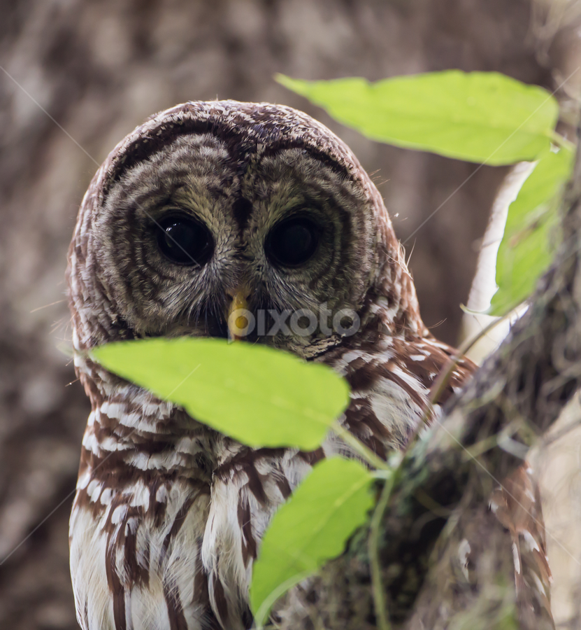 Barred Owl by Robert Strickland - Animals Birds ( bright, nice, passer, feather, birds, predator, time, tree, nature, fulvus, raptor, falconry, griffon, black, flower, isolated, wild, element, wing, singing, parent, prey, hawk, sitting, horizontal, outdoors, owl, endangered, branch, perching, small, graphic, tropical, retro, wildlife, cute, vultur, drawing, character, berry, predatory, bilberry, carrion, beautifully, gyps, vulture, vintage, wingspan, beautiful, plumage, up, sparrow, haliaeetus, bird, flight, hunter, pattern, pet, background, beak, falcon, cut, standing, garden, design, studio, cartoon, wise, illustration, wisdom, shot, robin, ornithology, owlet, wings, fruit, eagle, symbol, white, forest, winter, environment, sweet, fly, food, adorable, songbird, floral, scavenger, beauty, photography, flying, carnivore, condor, vector, animal, icon, avian, vertebrate, photo, blue, color, brown, house sparrow )