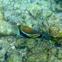 """Reef trigger fish """"Humuhumunukunukuāpuaa"""""""