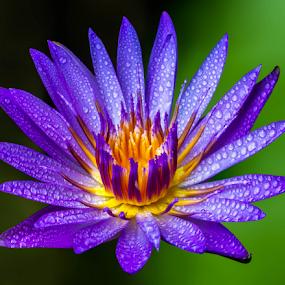by Ronnel Masangkay - Flowers Single Flower