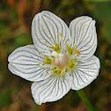 Marsh Grass-of-Parnassus - Bog star