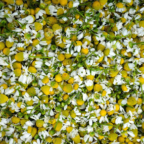 Chamomile by VAM Photography - Nature Up Close Other plants ( farmers market, nyc, tea, close up, flower )