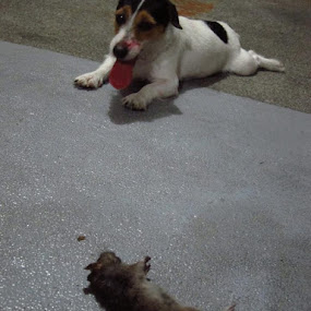 Real kill by Jay Reynon - Animals - Dogs Playing ( jack russel, bloody nose., real kill )