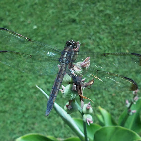 Dragonfly on Canna by D Michelle Foresman - Animals Insects & Spiders
