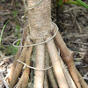Pandanus Palm or Screw Pine