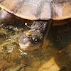 Australian or Eastern Snake-necked Turtle