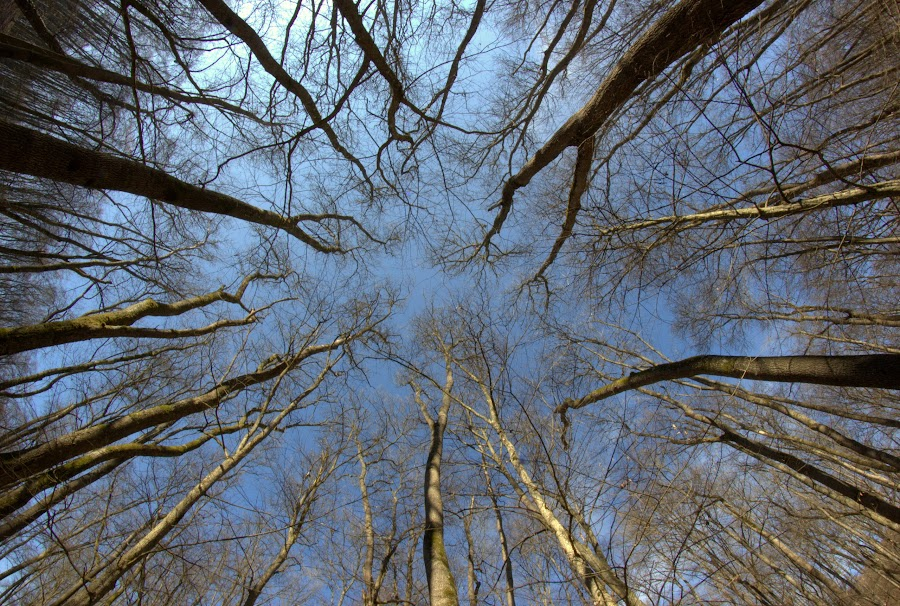 Spring Sky by Mihaela Jurca - Nature Up Close Trees & Bushes ( wood, march mood, trees,  )