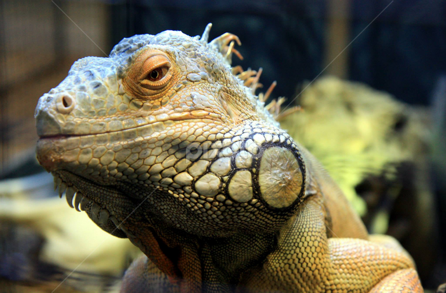 Iguana by Trina Sexsmith - Animals Reptiles (  )