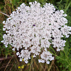 Wild Carrot / Queen Anne's Lace