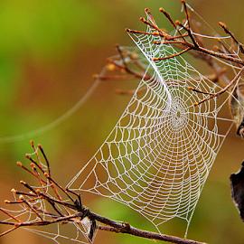 by Shrikrishna Bhat - Nature Up Close Webs ( web, spiderweb,  )