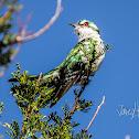 Dideric Cuckoo