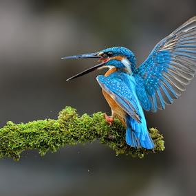 kingggggggggg by Raj Dhage - Animals Birds