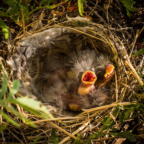 Feed by Chip Ormsby - Animals Birds ( bird, avian, nest, yellow, hungry,  )