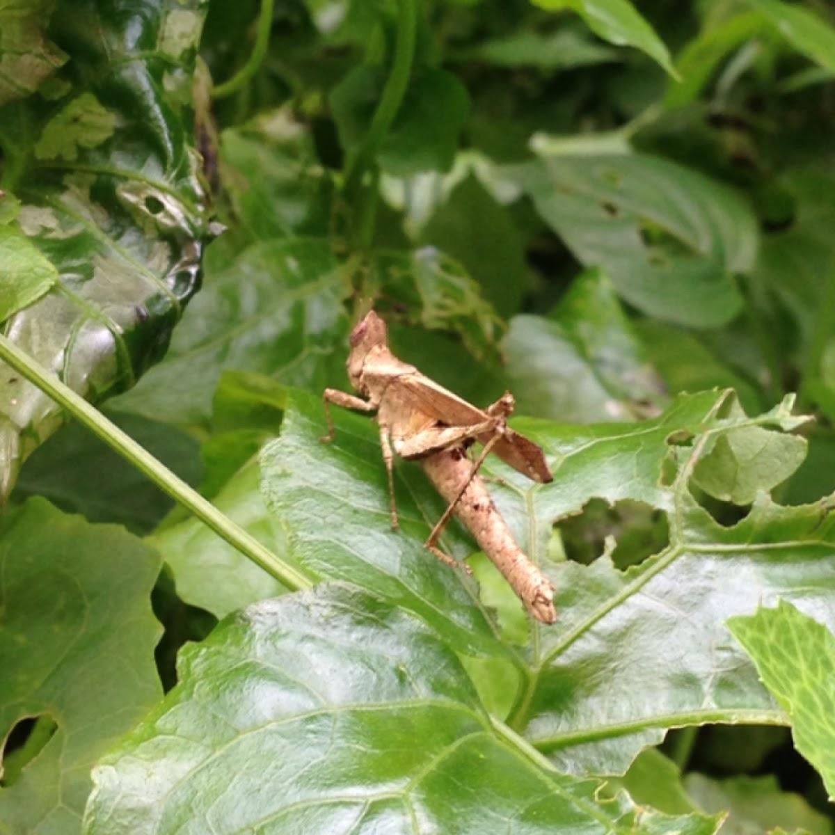 Dead Leaf Grasshopper