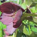 Lenten Rose ('Blue Lady')