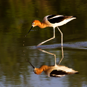 Reflection of an Avocet by Cheryl Nestico - Animals Birds ( water, american avocets, reflection, avocets, lake, birds,  )