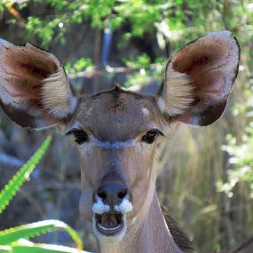 The Kudu by Kleintjie Loots - Animals Other Mammals