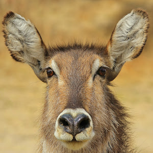 waterbuck ps_edited-1.jpg