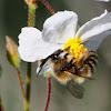Long-horned bee; Abeja de cuernos largos
