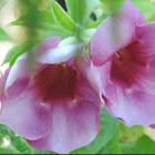 Purple Allamanda