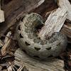 Cotton Cutworm