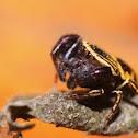 Rhene Rubrigera Jumping Spider