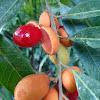 Seashore Nutmeg