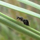Eurytomid wasp (female)