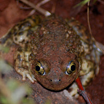 Herps (Reptiles & Amphibians) of Southern California