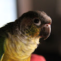 Painted Conure