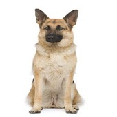 German Shepherd Dog Info