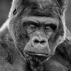Patriarch by Michael Pachis - Animals Other Mammals ( silverback, memphis zoo, gorilla, primate, lowland gorilla,  )
