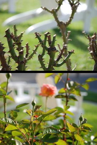 How To Prune Roses - screenshot
