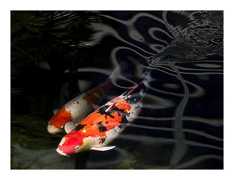 Koi fish hd wallpaper android apps on google play for High quality japanese koi