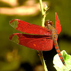 Fulvous Forest Skimmer - male