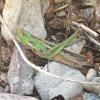 Montezuma's Grasshoper