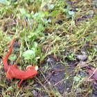Eastern newt juvenile (Eft)