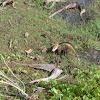 Gambá-de-orelha-branca