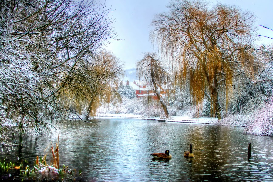 winter on the pond by Catherine Cross - Landscapes Waterscapes ( water, ponds, winter, duck, lakes, wildlife, trees, landscape,  )
